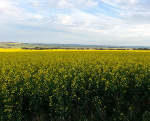 Canola Seed | Roundup Ready | Dawson Creek