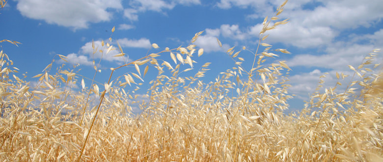 Oats | Buy Seed | Sell Grain | Dawson Creek