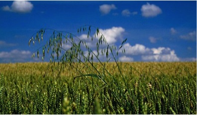 Wild Oats | Crop Resistance | Dawson Creek
