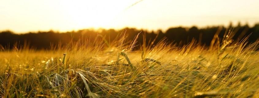 Meredith Malt Barley | Agro Source | Dawson Creek